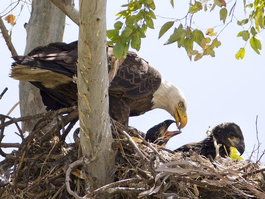 A bald eagle feeds her two hatchlings in their nest