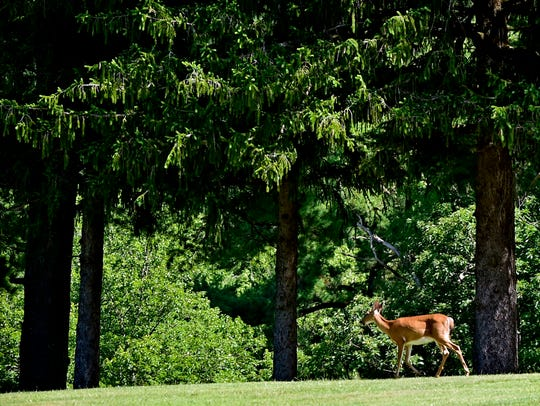 A deer takes a stroll through Caledonia Golf Club on Thursday, June 30, 2016.