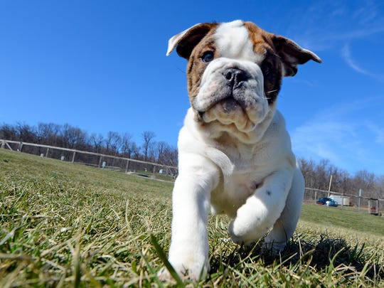 Rocco, a 4-month-old English bulldog owned by Corey Hershner of York, plays at John Rudy County Park in East Manchester Township on National Puppy Day, Thursday, March 23, 2017.  John A. Pavoncello photo