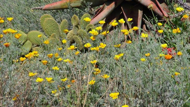 The small desert poppy, Eschscholzia glyptosperma, thrives far better in our lean soils than the standard California poppy, Eschscholzia glyptosperma.