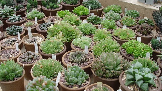 Little reptilian Haworthias are some of the toughest and most geometric of all small succulents.