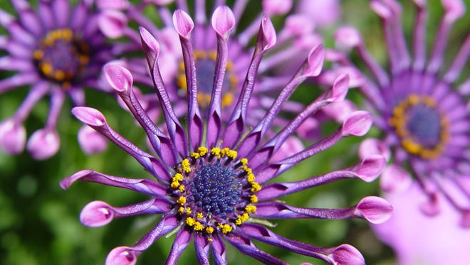 Osteospermum 'Purple Spoon' shows latest version of the freeway daisy that's catching the eye of Modernism fans.
