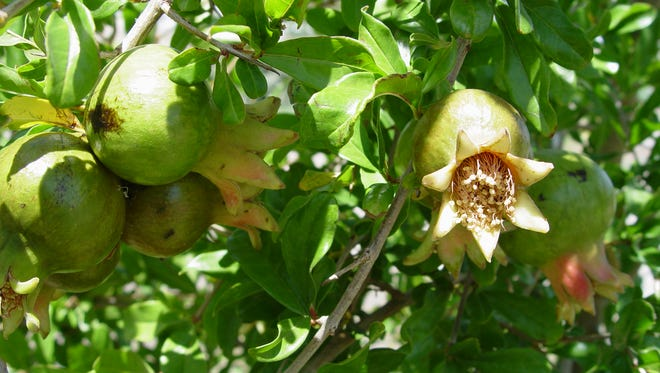 Pomegrante fruit remains green until it begins to ripen and heat brings on the color.
