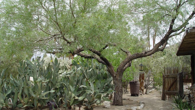 In normal rain years the hydrostatic pressure within our desert trees is high enough to discourage borers.
