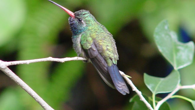 The desert has it's permanent hummingbird population while winter brings migratory species in for our season.