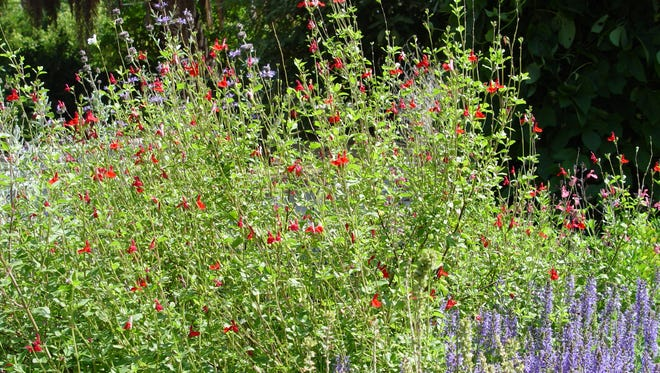 This huge plant demonstrates the vigor of the species, Salvia greggii over many of its hybrids.