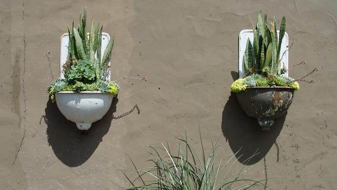Tongues ask for similar water as most popular succulents, however, these may look better with slightly more shade.