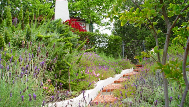 A dry slope planted with various lavenders, salvias and evening primrose.