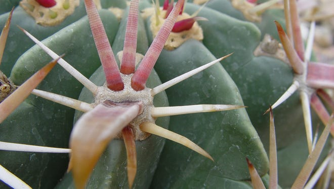 The wide spine in the center gathers dew in its depressed center so it flows straight into the trichomes of the tubercle.