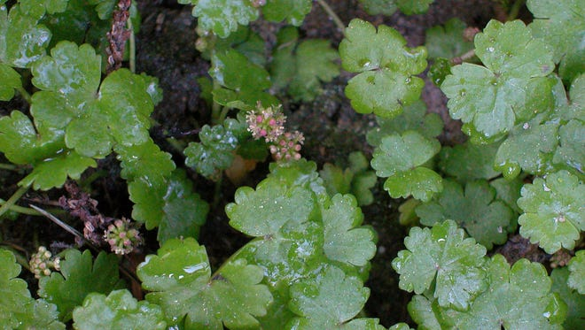 Lawn pennywort is a native of southern Asia and becoming established in the Southeast.