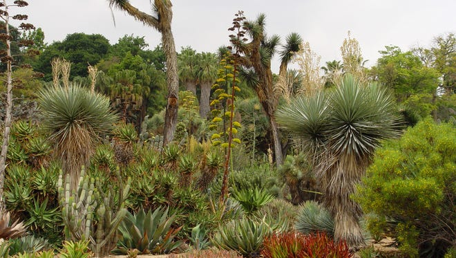 The creeping aloes grown in the foreground of this landscape at the Huntington show what well-tended plants should look like.