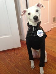 Klaus is a 4-year- old whippet and terrier mix.   From