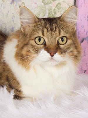 Rummy is available for adoption at 952 W. Melody Ave., Gilbert. For more information, call480-497-8296, email FFLcats@azfriends.org or visit azfriends.org.