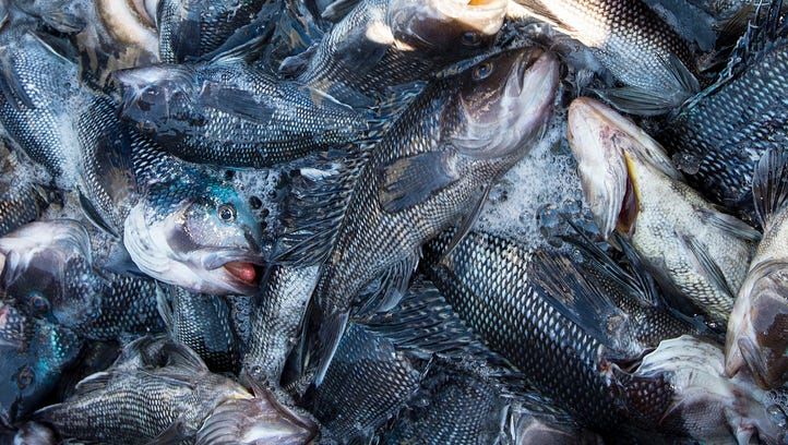 Black sea bass are the main income from the Andrew