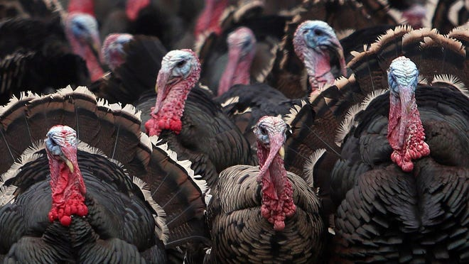 Heritage turkeys at Stone Barns Center for Food and Agriculture in Pocantico Hills Nov 15, 2015.