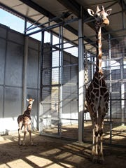 """The newborn male giraffee stands next to its mother """"Dadisi"""" at the Living Desert on Monday. The baby giraffe hasn't been named yet but it weighs 130 pounds and is 5 feet 9 inches tall."""