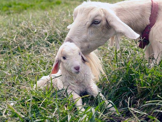 WSF 0407 New goat kid