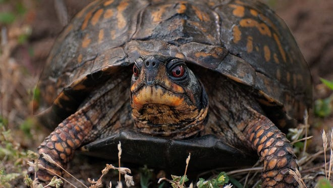 The Eastern Box turtle has been named a Species of Special Concern by the state. It lives in a diverse set of habitats, including woodlands, fields, and thickets.