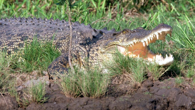 A very large saltwater Crocodile lurks along the shores of the South Alligator River in Kakadu National Park.