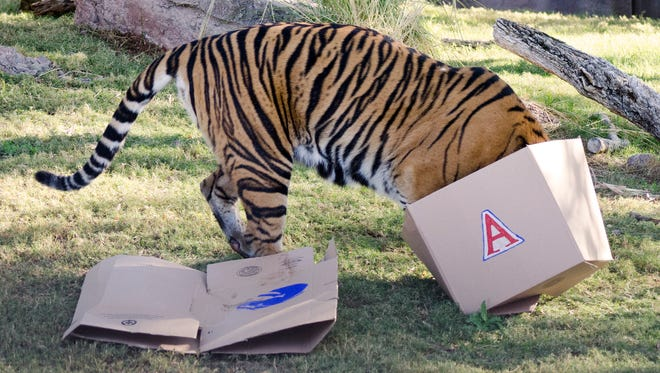 Hadiah played up the drama as she first broke open the Boise State box and sniffed its contents before diving head first into the UA box and chowing down on the food inside.