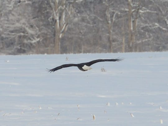 A bald eagle surveys the snowy landscape on Monday