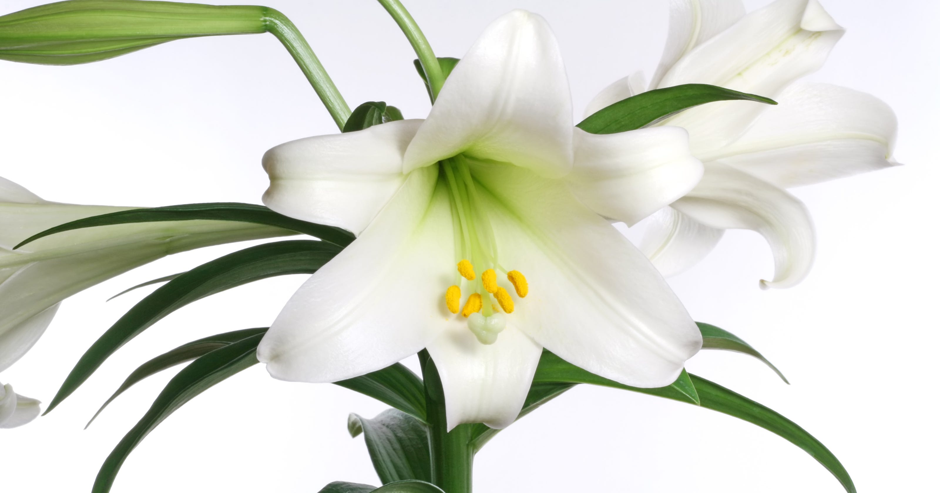 Hoosier gardener keep your easter lilies healthy and in bloom izmirmasajfo