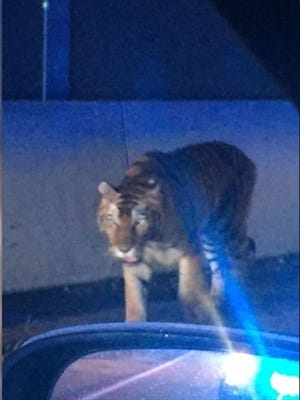 Pictures from Henry County., Ga., police show a tiger walking along Interstate 95 in Henry County on Wednesday, Sept. 6, 2017. Police killed the tiger after it attacked a dog.