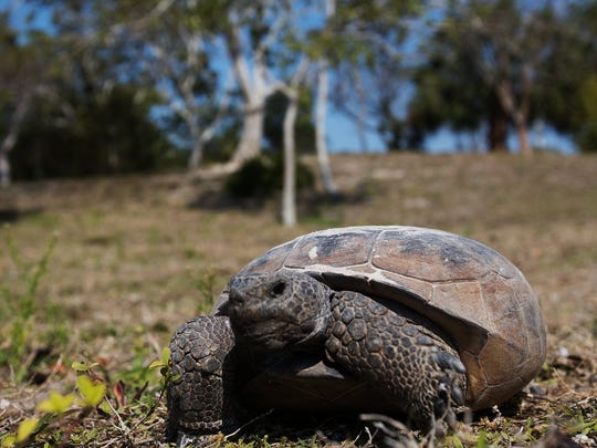 A gopher tortoise scoots through one of the open parts of Bowditch Point Park in search of food recently. The photographer was on the ground as the tortoise approached and passed by. The photographer did not approach the tortoise at close range.