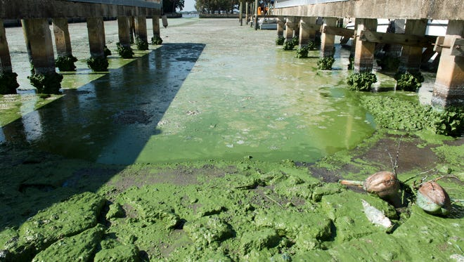 Blue-green algae is seen in a boat basin off the St. Luice River on July 9, 2016, at Outboards Only in the Rio community.