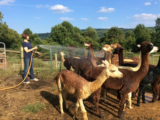 Kris Ensminger sprays water to cool down the alpacas at Hum-Dinger Alpaca Farm outside Phillipsburg.