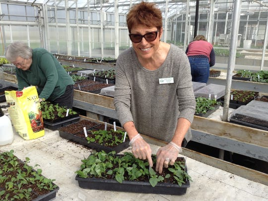 Door County Master Gardener Karen Kidd works in the Peninsular Agricultural Research Station to prep plants for the annual Plant Sale.