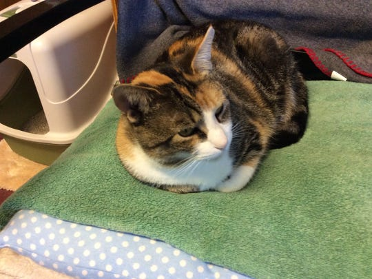 A cat relaxes at the Somerset Regional Animal Shelter in Bridgewater.