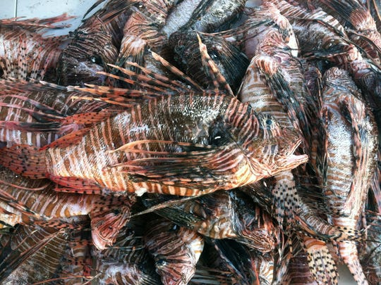 A look at the haul of lionfish, an invasive species that is overtaking local underwater ecosystems, during the weigh-in for the first Southwest Florida Lionfish Derby on Sunday, April 13, 2014. Lionfish are known for their brown stripes and prickly, venomous spines.