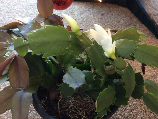 If your Christmas cactus has already started blooming,