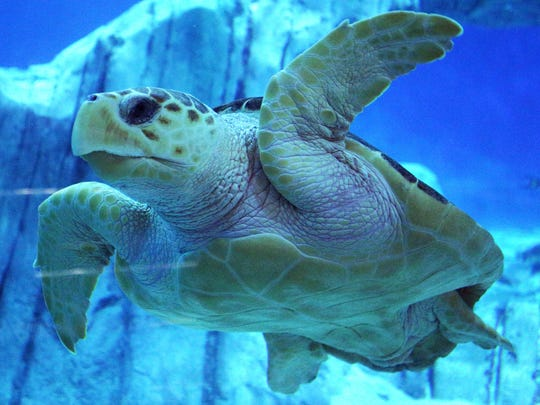 Charlie, a rescued Loggerhead sea turtle, swims around