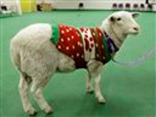 A sheep wearing a sweater stands with a leash at the Humane Society in Omaha, Neb. on Tuesday, Dec. 9, 2014. It was found by police and brought to the Humane Society, awaiting it's owner. A Humane Society spokesperson says the sheep, which appears healthy, has a thick coat, so it likely didn't need the sweater for warmth. (AP Photo/Nati Harnik)