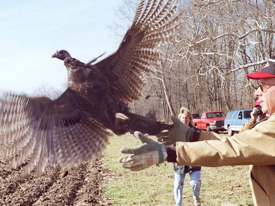 Southern Rush County landowner Richard Mahan releases a wild turkey Jan. 26, 1999, at the his cornfield near the Flat Rock River west of Moscow, Ind.
