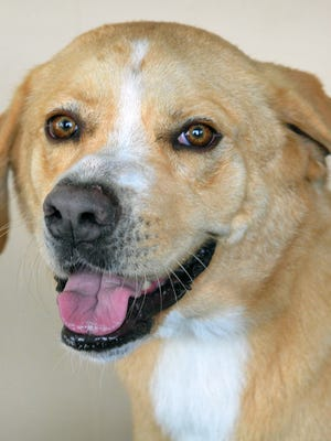 Pandora is a 3-year-old, yellow Lab mix. She has been vaccinated, spayed and microchipped. Pandora gets along well with kids and other dogs and is available for adoption at the Wichita County Humane Society.