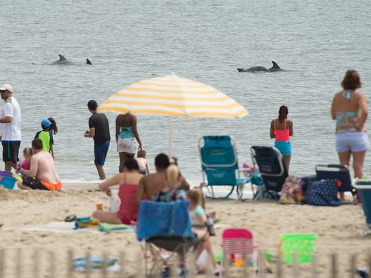 Dolphins swim next to the beach front at Rehoboth Beach.
