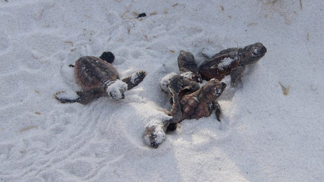In this file photo, a rare daylight hatching of a loggerhead sea turtle nest is seen on Pensacola Beach.