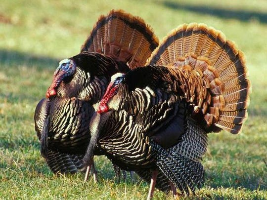 Missouri Department of Conservation The spring turkey