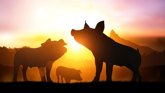silhouette pig in sunset