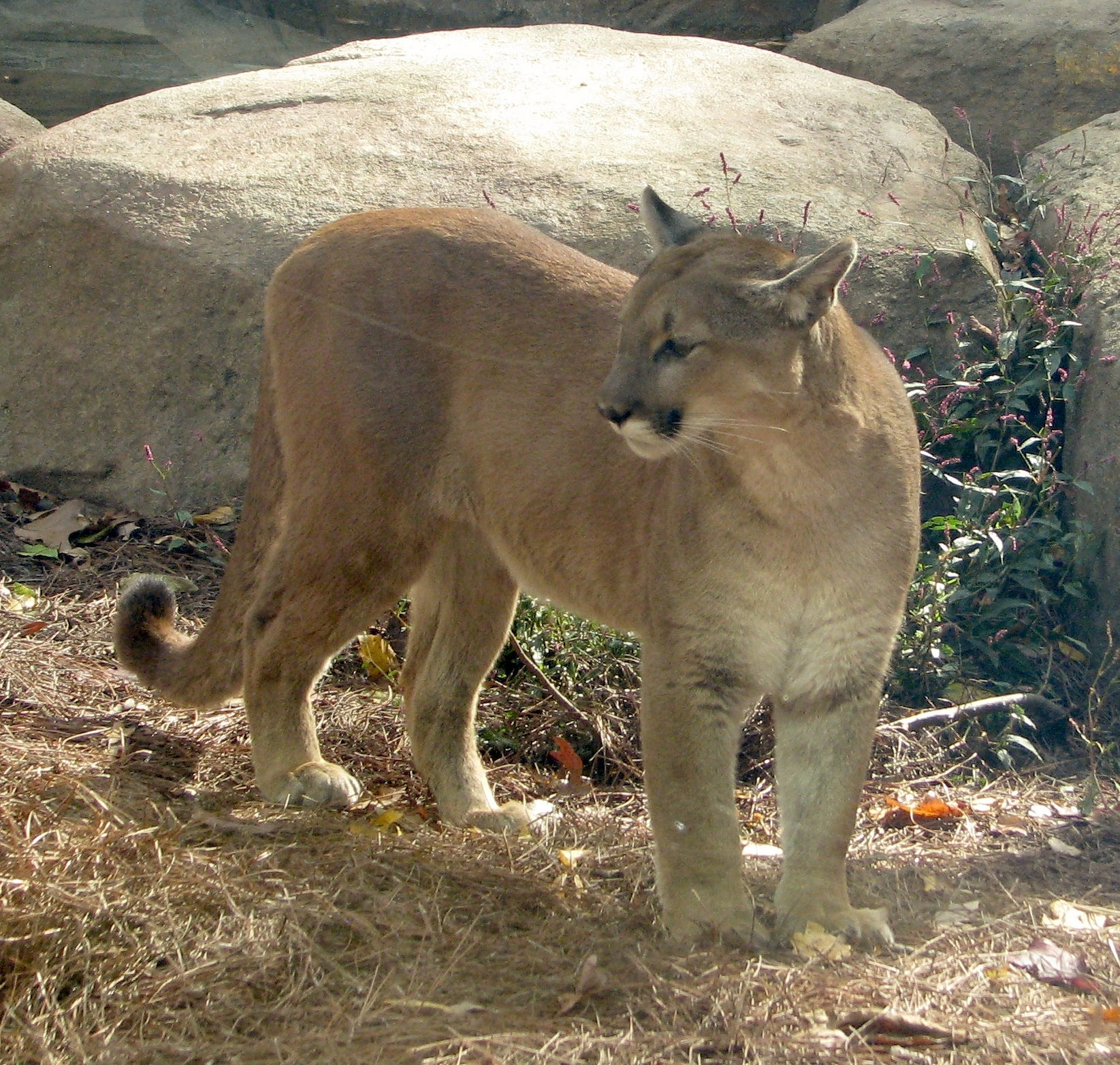 eastern puma extinct hoax