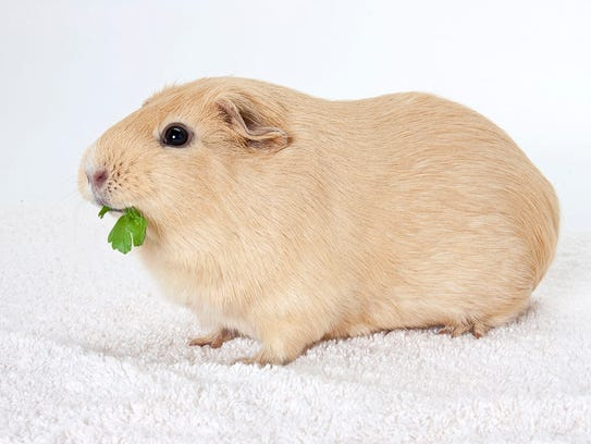 Brussel Sprout, 10-month-old male Guinea pig. No. 95461.