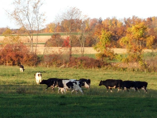 Cows on Jim Goodman's organic dairy farm head to pasture.