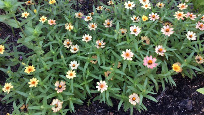 Zinnias grow and bloom best in full sunlight. The less sunlight they receive, the fewer buds they will produce.