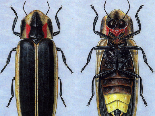Illustration of the Say's firefly. The Say's firefly got its namesake in the 1800s from naturalist Thomas Say from Posey County.
