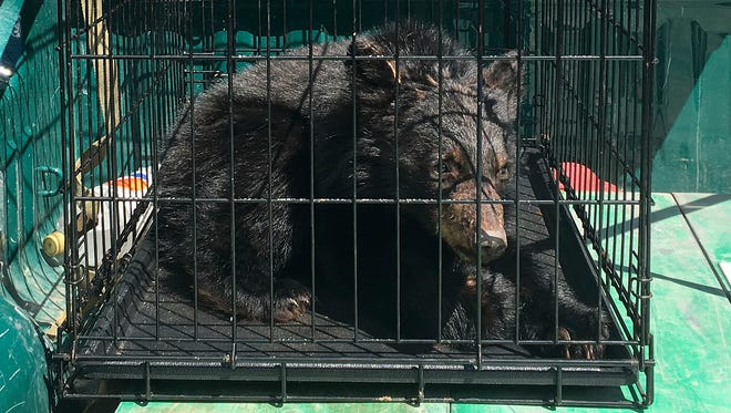 This photo released Monday, April 24, 2017, by the Vermont Fish & Wildlife Department shows one of several bear cubs found the previous week starving in Guildhall after a shortage of wild food supplies in parts of the state last fall. The cubs were sent to a bear rehabilitator in New Hampshire who will care for the cubs until they can be returned to the wild.