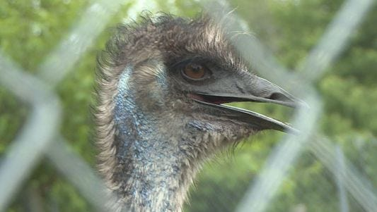 Emu is still on the loose after escaping farm.