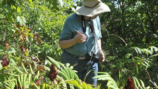 Therese Folsom wades into a patch of sumac at Sherburne National Wildlife Refuge on Aug. 20.